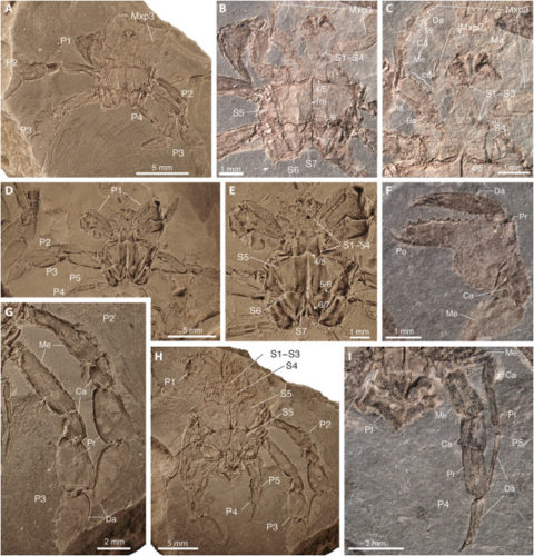 La Callichimaera perplexa era uno stranissimo granchio che visse 95 milioni di anni fa