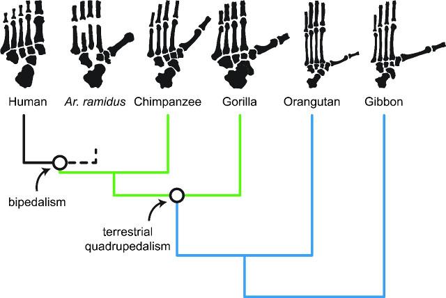 Il ruolo dell'Ardipithecus ramidus nell'evoluzione della locomozione bipede negli esseri umani