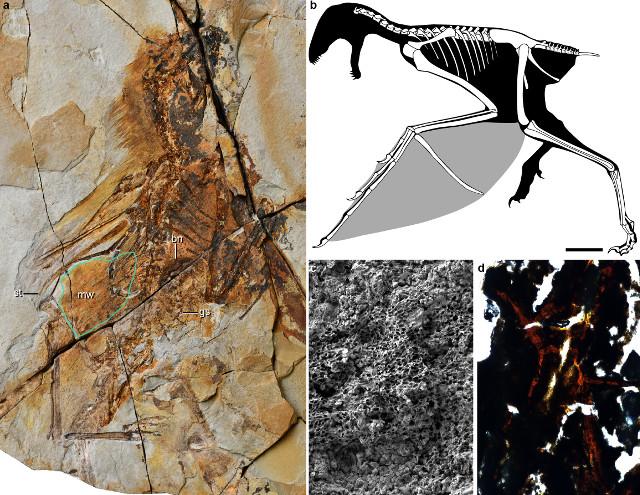 L'Ambopteryx longibrachium era un piccolo dinosauro con ali da pipistrello