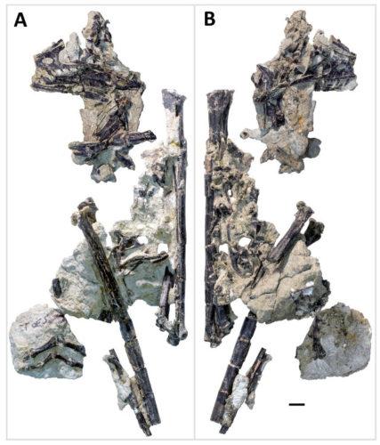 L'Hesperornithoides miessleri era un dinosauro piumato che visse 150 milioni di anni fa