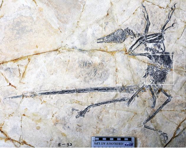 Un dinosauro piumato della specie Microraptor zhaoianus scoperto con una lucertola quasi intera nel suo stomaco