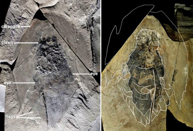 Fossile di Cambroraster falcatus (Immagine cortesia Jean-Bernard Caron© Royal Ontario Museum)