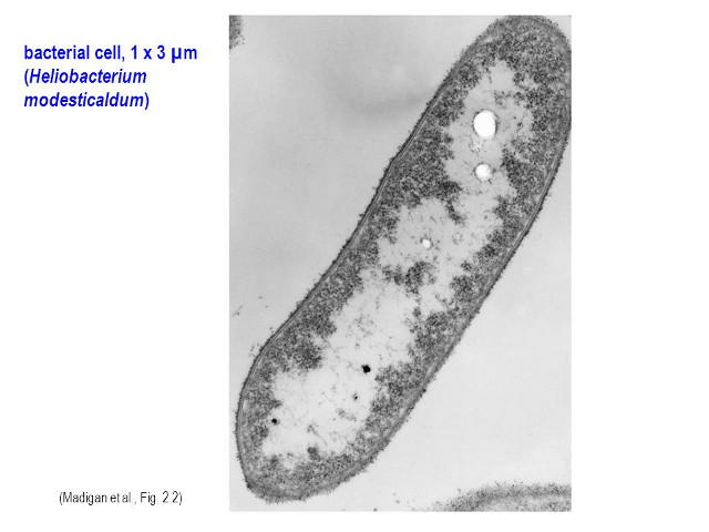 Lo studio di batteri offre nuovi indizi sull'evoluzione della fotosintesi