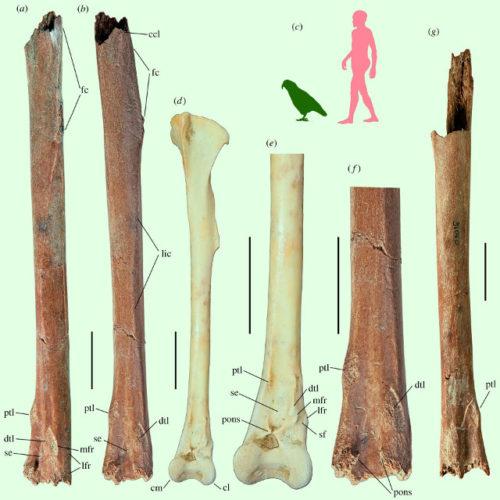 L'Heracles inexpectatus era un pappagallo gigante che visse 19 milioni di anni fa