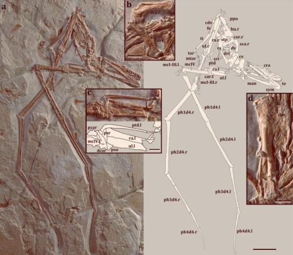 Fossile di Mimodactylus libanensis (Immagine cortesia Kellner et al,)