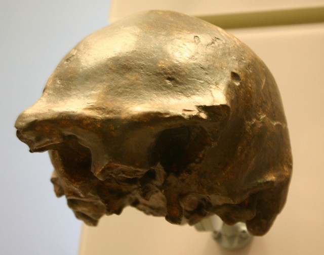 Calotta cranica di Homo erectus di Ngandong