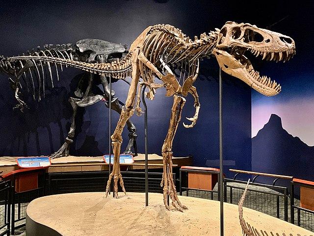 Scheletro del probabile T. rex soprannominato Jane (Foto cortesia Zissoudisctrucker)