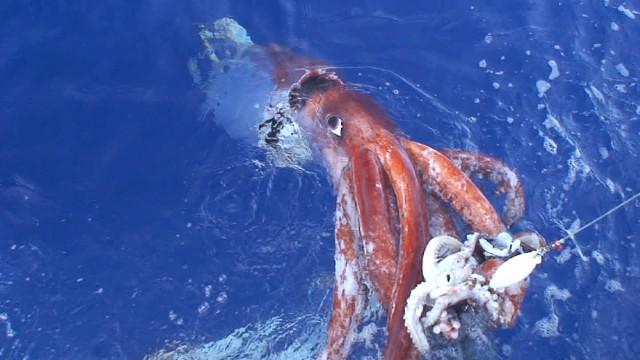 Una rara foto di un calamaro gigante vivo (Foto cortesia Tsunemi Kubodera)