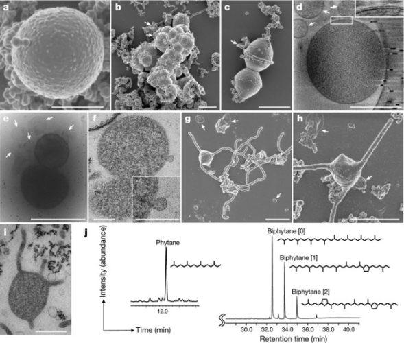 Un archeo Asgard potrebbe fornire la chiave per capire la nascita della cellula eucariota