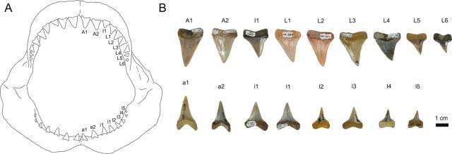 Bocca e denti fossili di squalo bianco