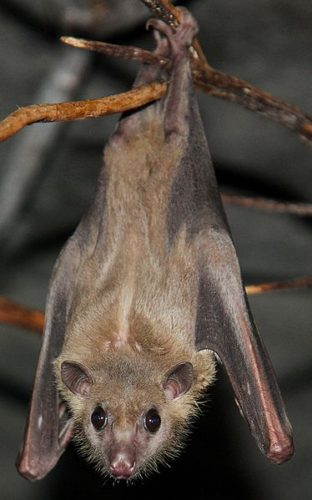 Rousettus aegyptiacus
