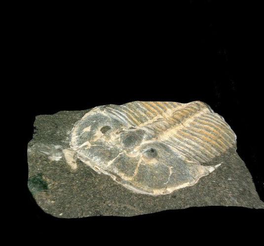 Fossile di Aulacopleura Kionickii (Foto cortesia Brigitte Schoenemann)