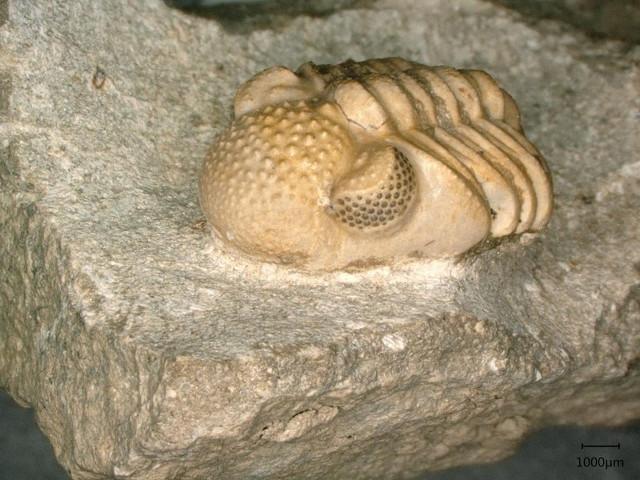 Trilobite dell'ordine Phacopida (Foto cortesia Brigitte Schoenemann)