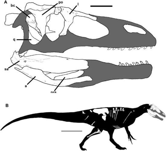Ricostruzione di Murusraptor barrosaensis con in bianco le ossa trovate (Immagine Rodolfo A. Coria, Philip J. Currie)