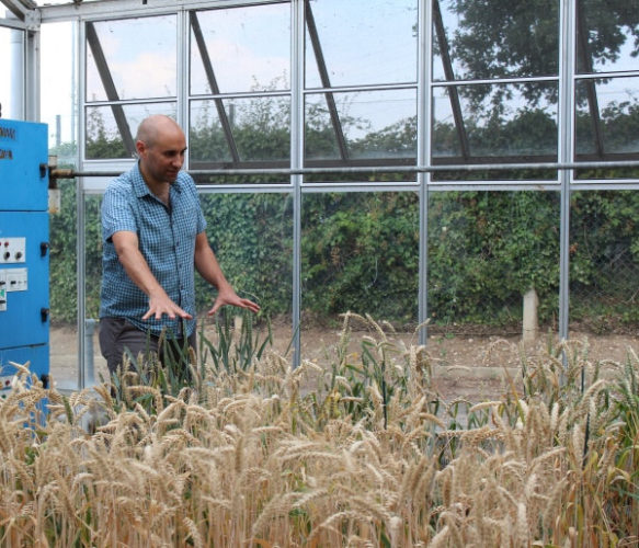 Il dottor Cristobal Uauy in una serra di grano tenero (Foto cortesia Ruby O'Grady. Tutti i diritti riservati)