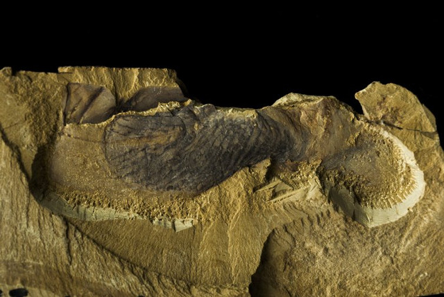Fossile di Stromatoveris psygmoglena (Foto cortesia J. Hoyal Cuthill)