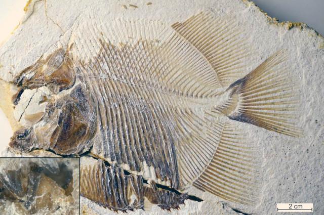 Fossile di Piranhamesodon pinnatomus (Immagine cortesia M. Ebert e T. Nohl)
