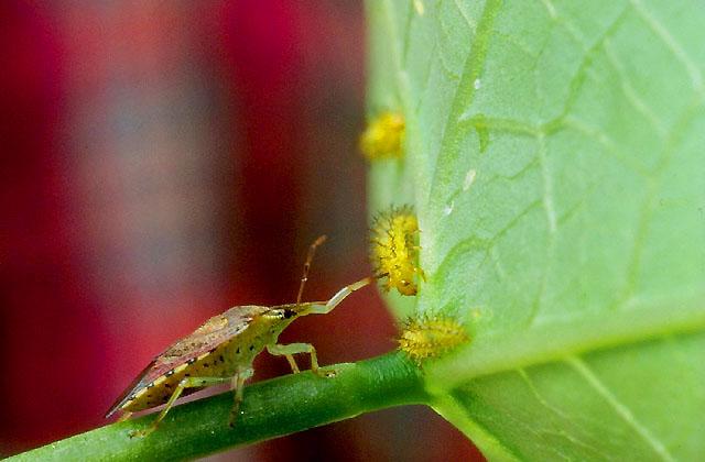 Podisus maculiventris mentre attacca larve di Epilachna varivestis (Foto Agricultural Research Service)