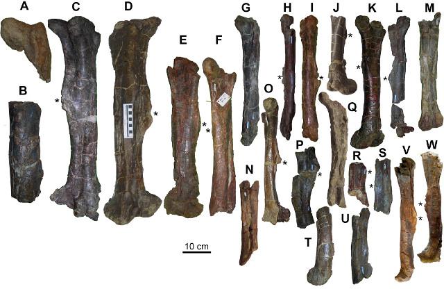 Femori di adrosauridi del sito di Basturs Poble (Immagine Víctor Fondevilla et. al.)