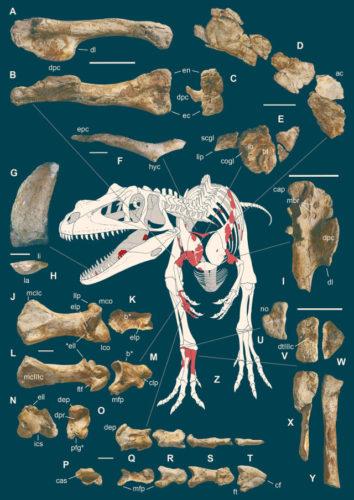 Le ossa di Saltriovenator zanellai trovate (Immagine G. Bindellini / C. Dal Sasso / M. Zilioli / M. Auditore)