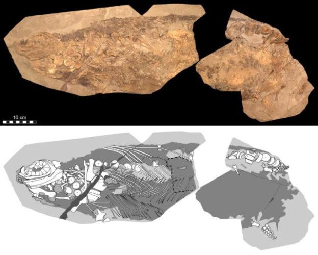 Lo stenotterigio era un rettile marino del Giurassico che secondo una ricerca era a sangue caldo