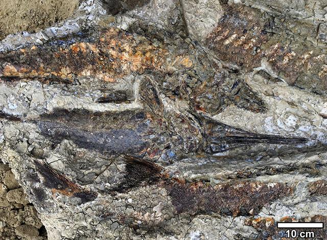 Pesci fossili del sito di Tanis (Foto cortesia Robert DePalma)