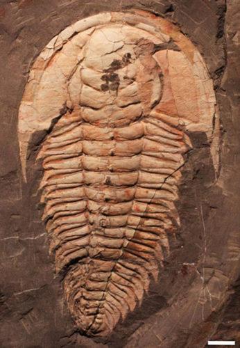 Identificato il Redlichia rex, il T.rex dei trilobiti