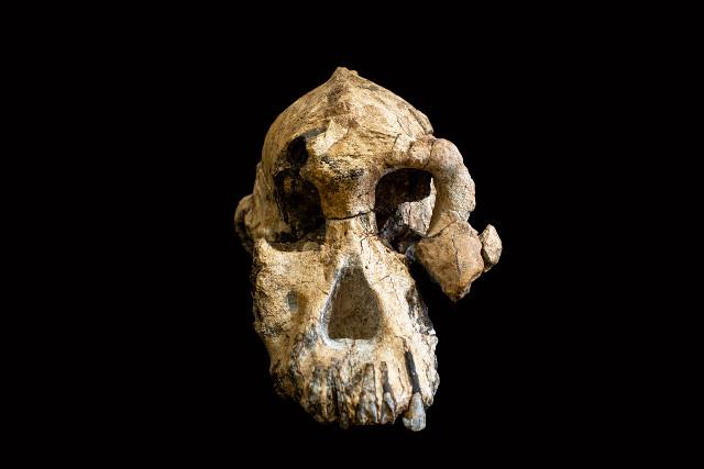 Un cranio quasi completo di Australopithecus anamensis offre nuovi indizi sull'evoluzione degli ominini