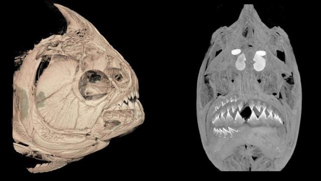 I piranha sostituiscono contemporaneamente tutti i denti su un lato della bocca