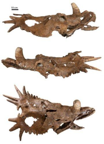 Un cranio del dinosauro erbivoro chiamato Styracosaurus albertensis mostra che aveva corna asimmetriche