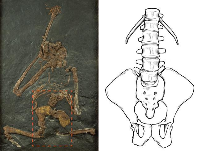 Secondo una nuova ricerca l'Oreopithecus bambolii non camminava eretto e non si arrampicava sugli alberi