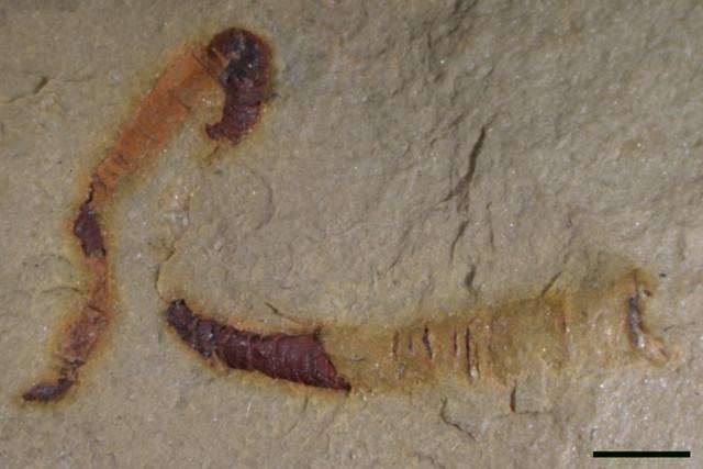 Fossili di cloudinidi