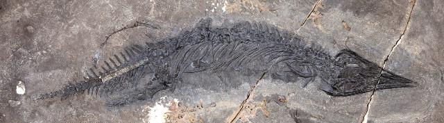 Il fossile di Gunakadeit joseeae