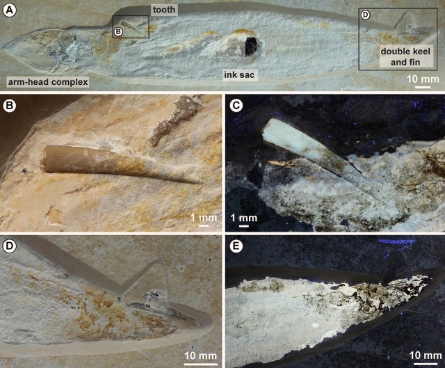 Fossile di Plesioteuthis subovata