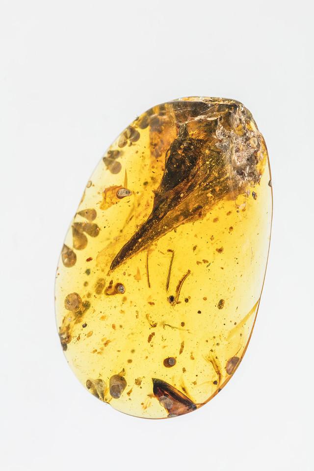 Il fossile di Oculudentavis khaungraae