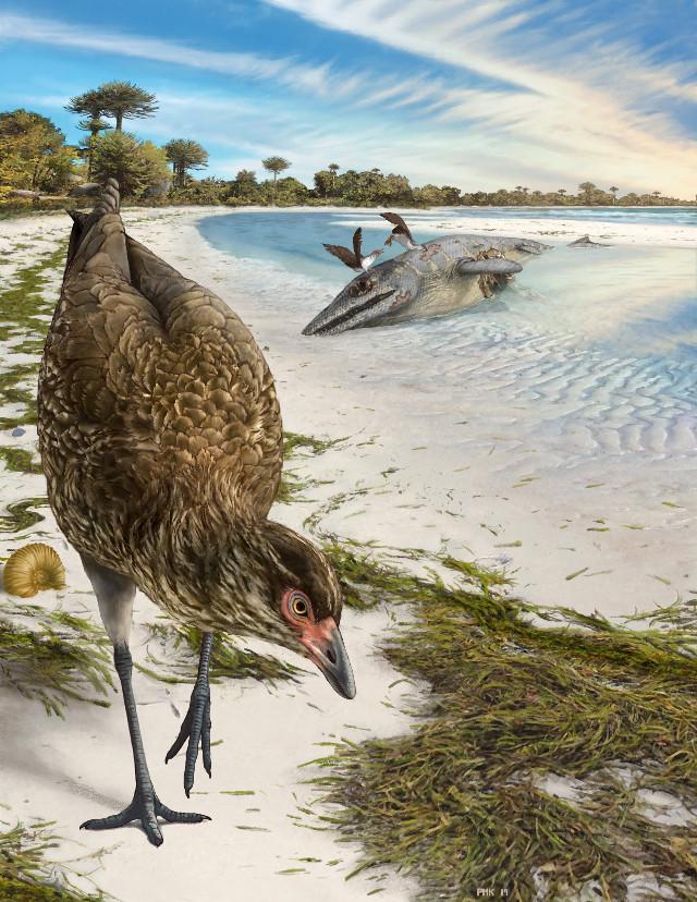 Concetto artistico di Asteriornis maastrichtensis (Immagine cortesia Philip Krzeminski)
