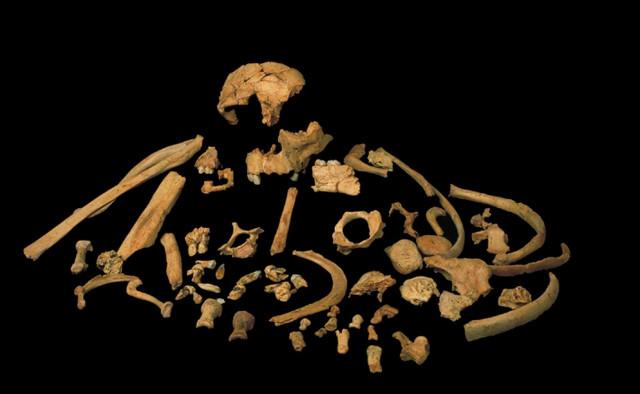 Ossa di Homo antecessor (Immagine cortesia José María Bermúdez de Castro)