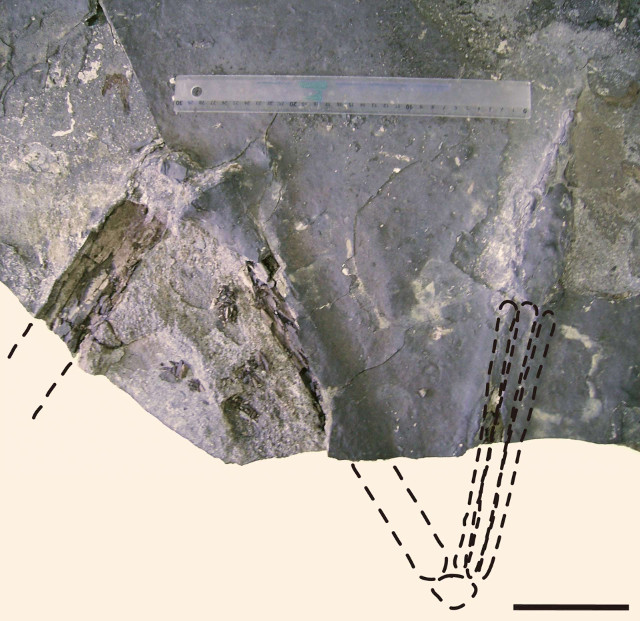 Il fossile di Aratasaurus museunacionali