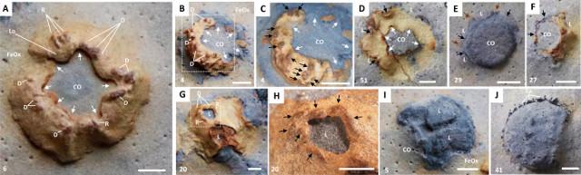 Viste di fossili di namacalato (Namacalathus hermanastes)
