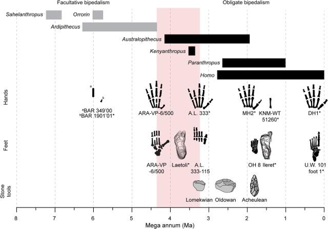 Schema dell'evoluzione di mani e piedi negli ominini