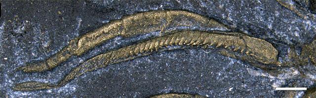 Zampa di trilobite
