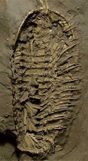 Trilobite conservata nella pirite
