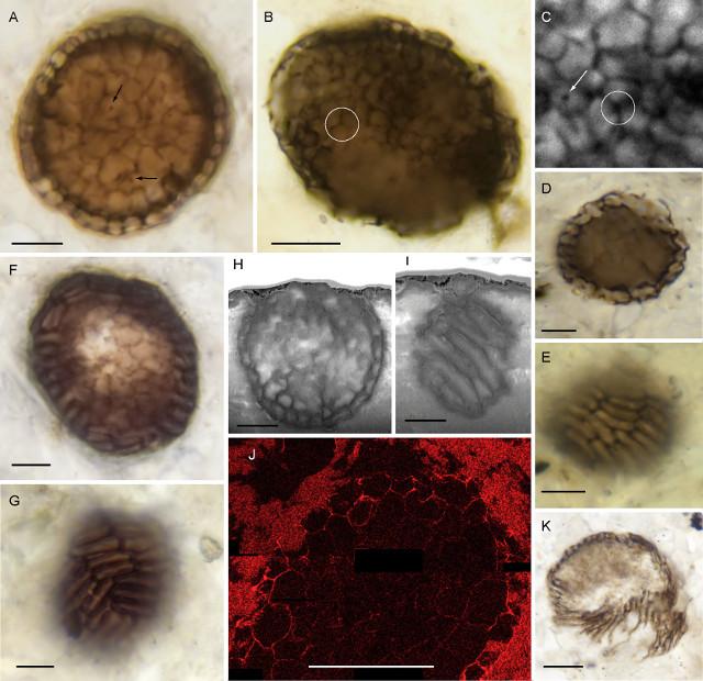 Fossili di Bicellum brasieri