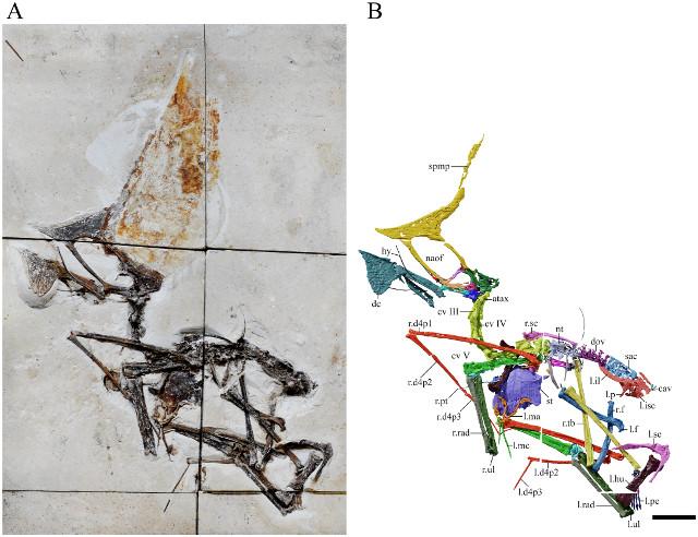 Il fossile di Tupandactylus navigans con l'indicazione delle ossa (Immagine Beccari et al)
