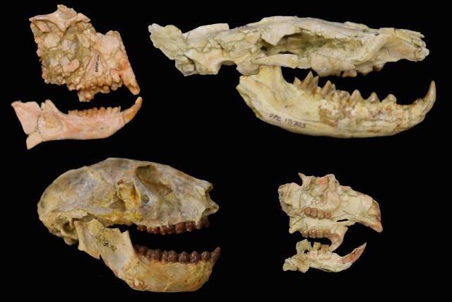 Fossili di mammiferi africani